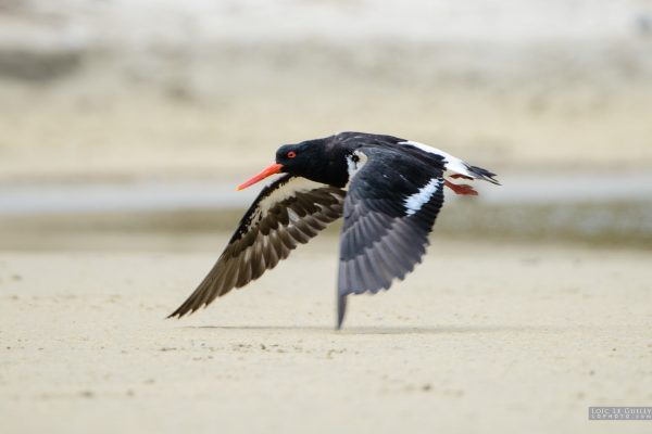 Oystercatcher taking off