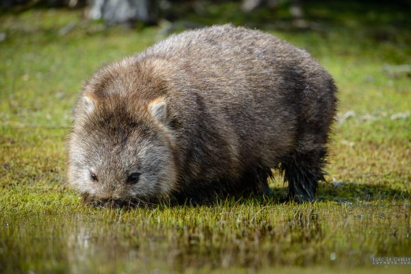 Wombat drinking, Bangor