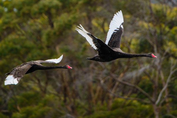 Black swans, Bangor