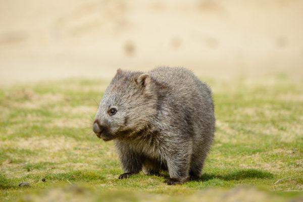 Wombat, Bangor