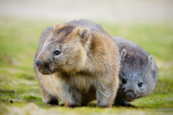 Wombat and joey, Bangor