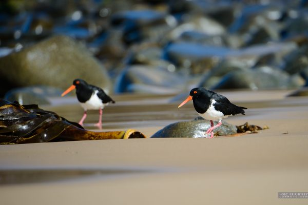 Oystercatchers, Crescent Bay