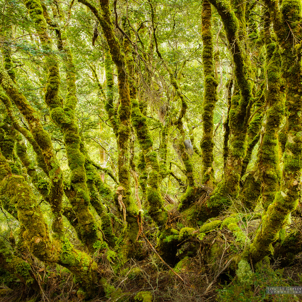 Ancient myrtle at Cradle Mountain
