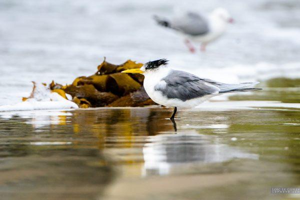Crested Tern, Maria Island