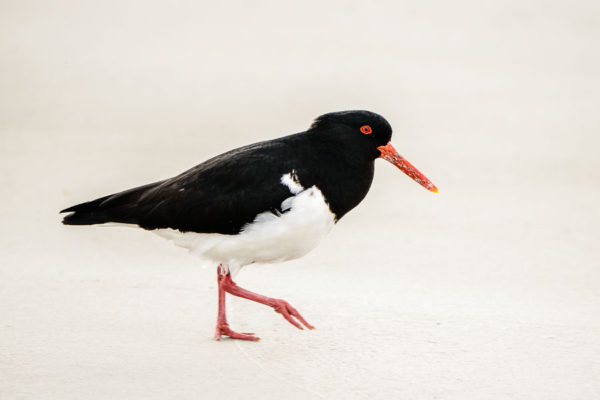 Oyster catcher, Maria Island