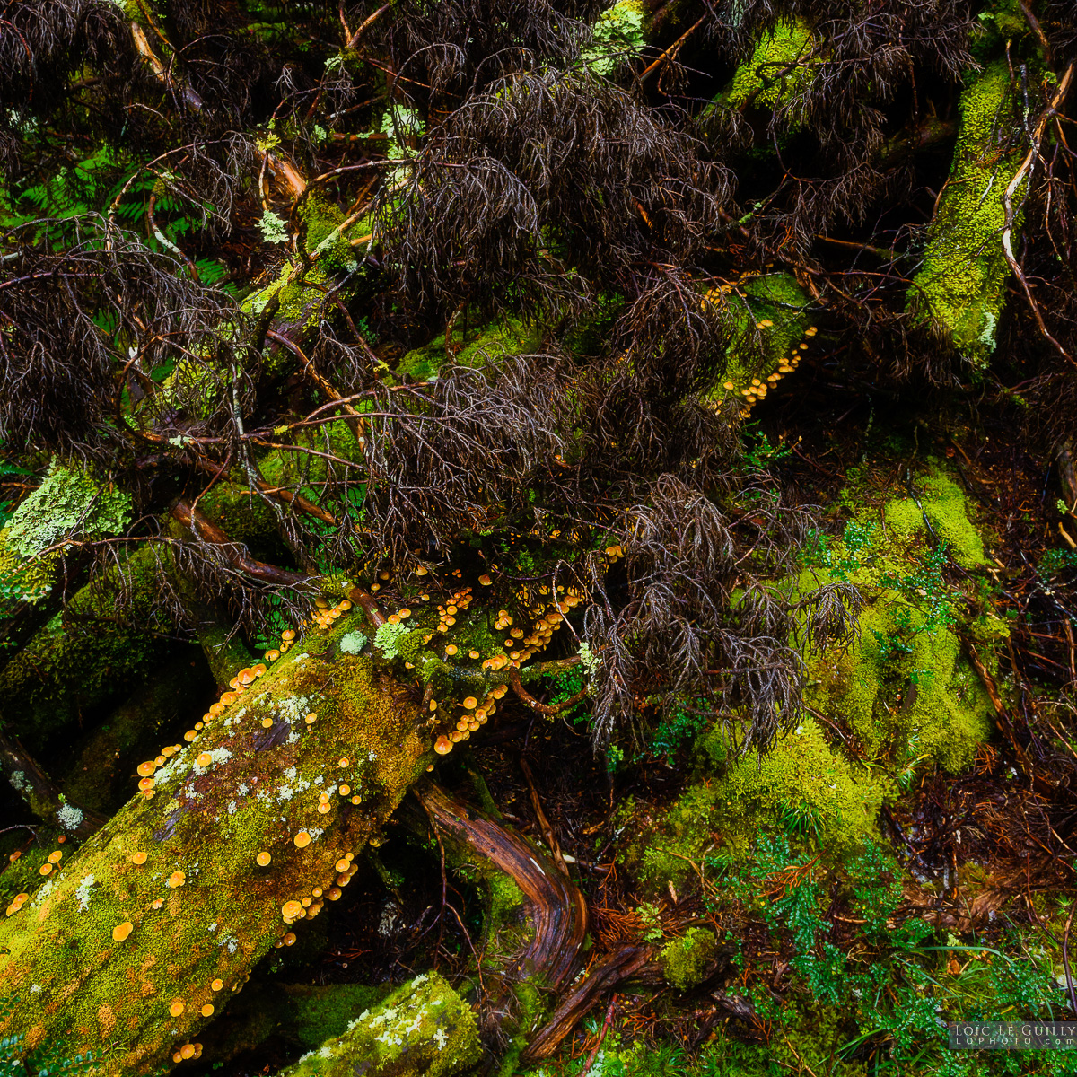 Forest floor, Cradle Mountain
