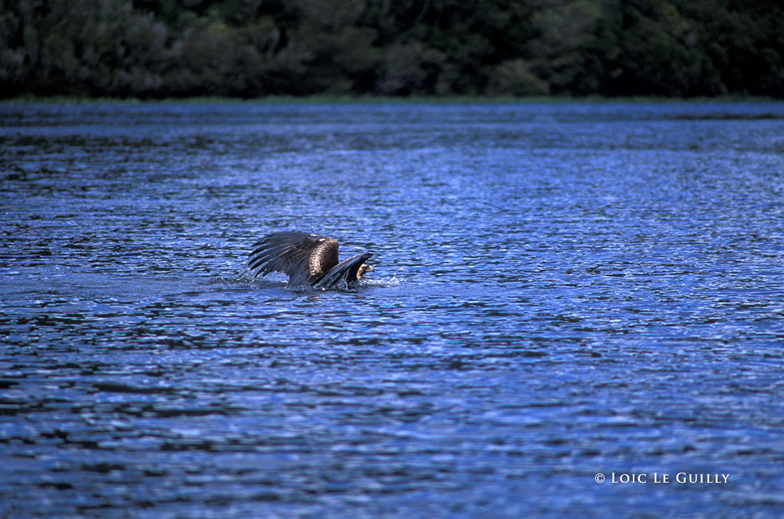 Wedge-tailed Eagle swimming in the Pieman river